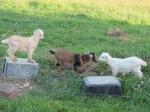 Goats - Napier, NZ