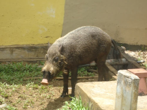 Bearded pig, just chilling near the cafeteria.