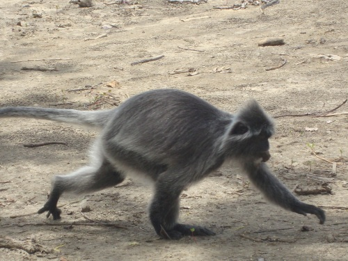 Langur on the move.