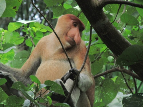 Proboscis Monkey, Bako National Park.