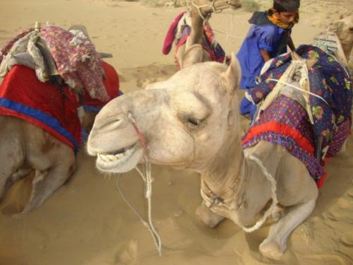 camels 080