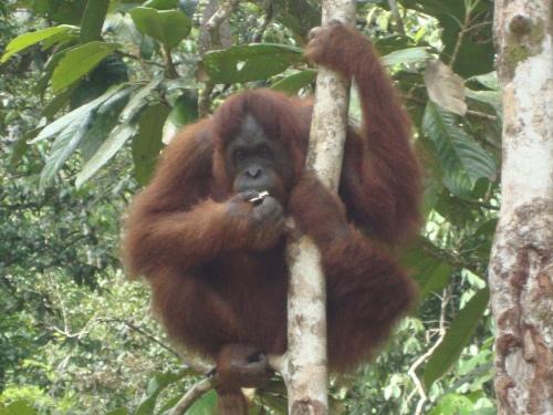 Our orangutan buddy at Semenggoh Nature Reserve, Kuching.