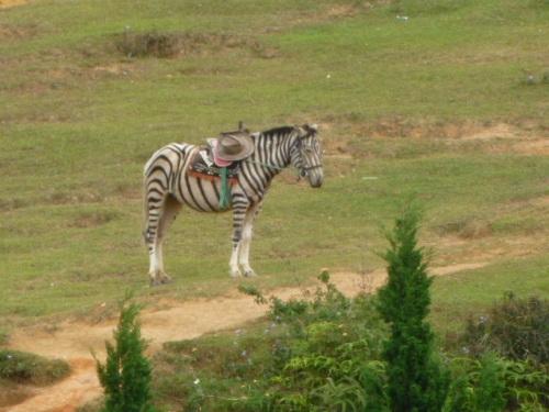 It's Zebra Horse!