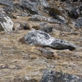 Funny fat little alpine birds