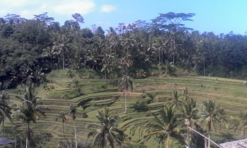 The tea plantations of Bali