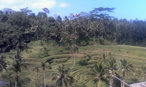 The tea plantations of Bali