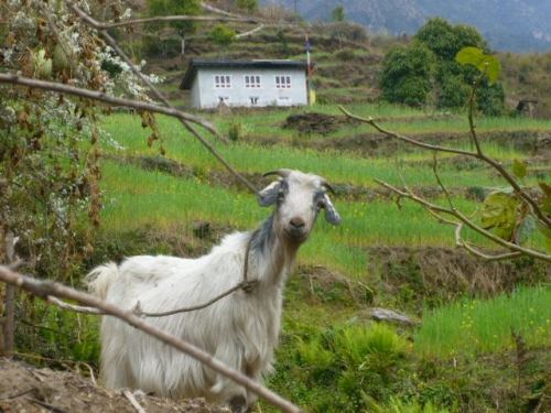 Nepal - Goat